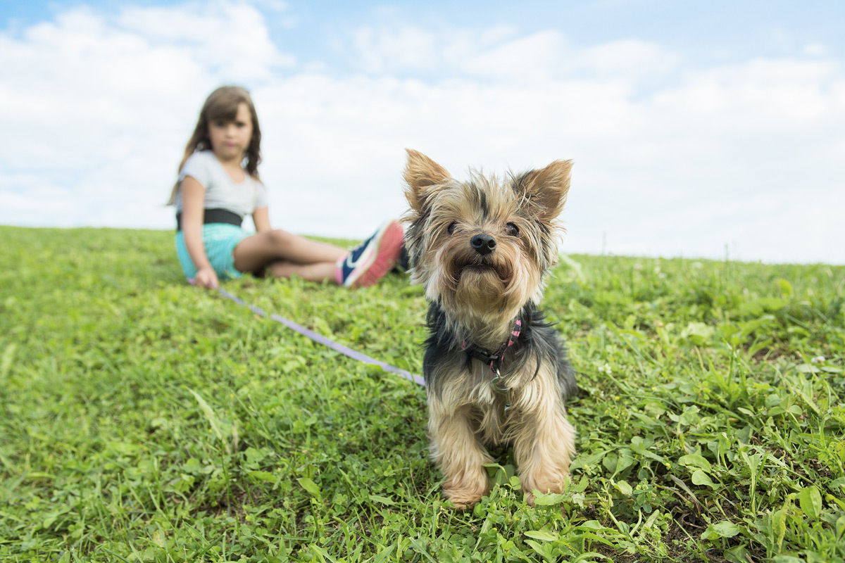yorkie sitting on grass with little girl sitting in background